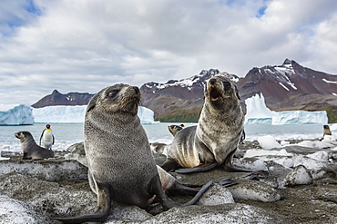 Antarctic fur seal (Arctocephalus gazella) pups on ice at the beach in Fortuna Bay, South Georgia, South Atlantic Ocean, Polar Regions
