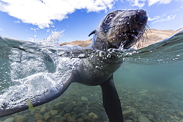 Antarctic fur seal (Arctocephalus gazella) pup underwater in Stromness Bay, South Georgia, South Atlantic Ocean, Polar Regions