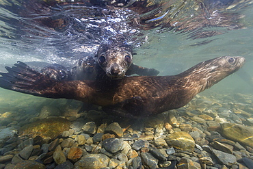 Antarctic fur seal (Arctocephalus gazella) pups underwater in Stromness Bay, South Georgia, South Atlantic Ocean, Polar Regions