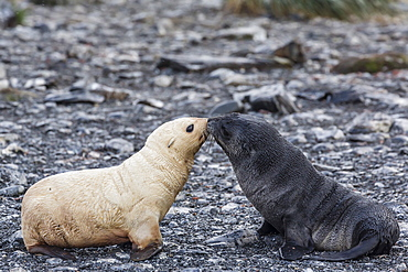 Leucistic Antarctic fur seal (Arctocephalus gazella) pup, Prion Island, Bay of Isles, South Georgia, South Atlantic Ocean, Polar Regions