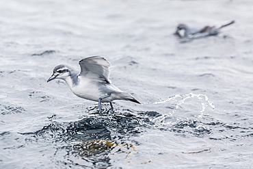 Adult Antarctic Prion (Pachyptila desolata) feeding in kelp, Elsehul Bay, South Georgia, South Atlantic Ocean, Polar Regions