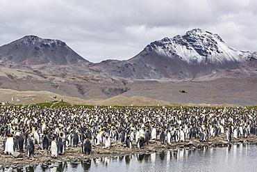 King penguin (Aptenodytes patagonicus) breeding colony at Fortuna Bay, South Georgia, South Atlantic Ocean, Polar Regions