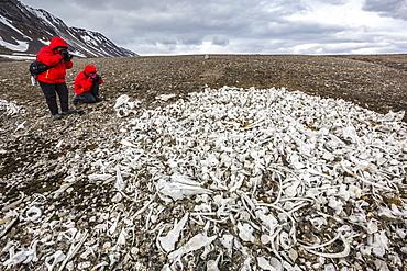Littered beluga bones left by whalers, Delphinapterus leucas, at Ahlstrandhalvoya, Bellsund, Svalbard, Norway, Scandinavia, Europe