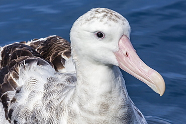 Wandering albatross, Diomedea exulans, in calm seas off Kaikoura, South Island, New Zealand