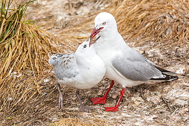 Red-billed gull (Chroicocephalus scopulinus) feeding chick near Dunedin, South Island, New Zealand, Pacific