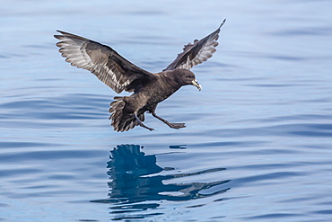 Adult white-chinned petrel (Procellaria aequinoctialis), off Kaikoura, South Island, New Zealand, Pacific