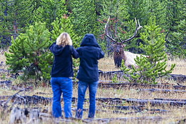 Bull elk, Cervus canadensis, with curious photographers, Yellowstone National Park, Wyoming, USA