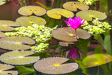 Water-lilies, Nymphaea spp, in Phnom Penh, along the Mekong River, Cambodia, Indochina, Southeast Asia, Asia