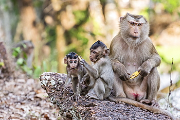 Long-tailed macaque (Macaca fascicularis) troop in Angkor Thom, Siem Reap, Cambodia, Indochina, Southeast Asia, Asia