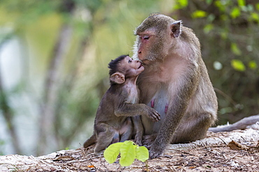 Young long-tailed macaque (Macaca fascicularis) nuzzling its mother in Angkor Thom, Siem Reap, Cambodia, Indochina, Southeast Asia, Asia