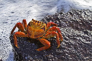 Sally lightfoot crab (Grapsus grapsus), Punta Cormorant, Floreana Island, Galapagos Islands, Ecuador, South America