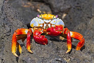 Sally lightfoot crab (Grapsus grapsus), Cerro Dragon, Santa Cruz Island, Galapagos Islands, Ecuador, South America