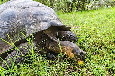 Wild Galapagos giant tortoise (Chelonoidis nigra) feeding on passion fruit in the highlands on Santa Cruz Island, Galapagos Islands, Ecuador, South America