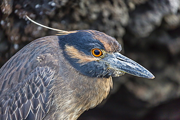 Adult yellow-crowned night heron (Nyctanassa violacea), Puerto Egas, Santiago Island, Galapagos Islands, Ecuador, South America