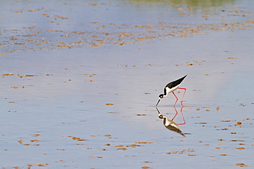 Adult black-necked stilt (Himantopus mexicanus), wading and feeding, Punta Cormorant, Floreana Island, Galapagos, Ecuador, South America