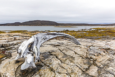 Bowhead whale skull (Balaena mysticetus) at the abandoned Kekerten Island whaling station, Nunavut, Canada, North America