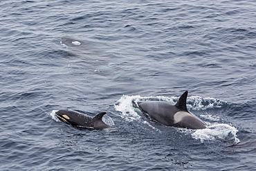 A small pod of around 12 curious killer whales (Orcinus orca), off the Cumberland Peninsula, Baffin Island, Nunavut, Canada, North America
