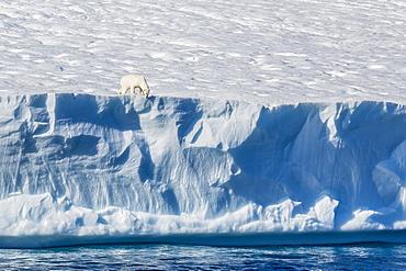 An adult polar bear (Ursus maritimus) on the edge of a huge iceberg in Arctic Harbour, Isabella Bay, Baffin Island, Nunavut, Canada, North America