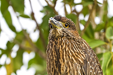 Juvenile yellow-crowned night heron (Nyctanassa violacea), Genovesa Island, Galapagos Islands, Ecuador, South America