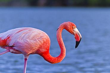 Greater flamingo (Phoenicopterus ruber), Las Bachas, Santa Cruz Island, Galapagos Islands, Ecuador, South America