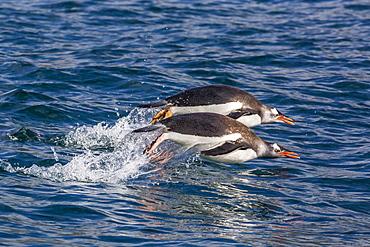 Adult gentoo penguins (Pygoscelis papua) porpoising for speed in Cooper Bay, South Georgia, UK Overseas Protectorate, Polar Regions
