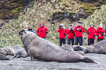 Southern elephant seal (Mirounga leonina), visitors watch males challenging each other at Gold Harbour, South Georgia, UK Overseas Protectorate, Polar Regions