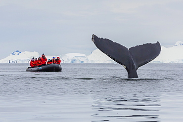 Humpback whale (Megaptera novaeangliae), flukes-up dive near whale watchers in the Enterprise Islands, Antarctica, Polar Regions