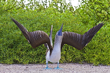 Blue-footed booby (Sula nebouxii), North Seymour Island, Galapagos Islands, Ecuador, South America