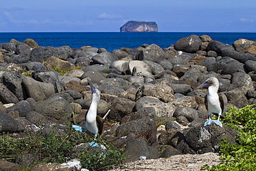 Blue-footed booby (Sula nebouxii) pair, North Seymour Island, Galapagos Islands, UNESCO World Heritage Site, Ecuador, South America
