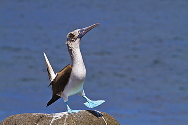 Blue-footed booby (Sula nebouxii) male, North Seymour Island, Galapagos Islands, Ecuador, South America