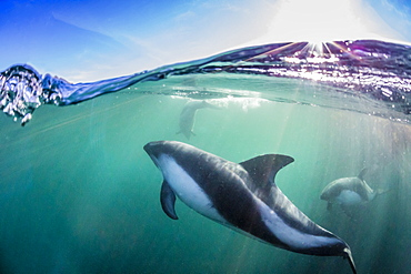 Adult Peale's dolphin (Lagenorhynchus australis), underwater in shallow water near New Island, Falkland Islands, UK Overseas Protectorate, South America