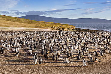 Adult gentoo penguins (Pygoscelis papua) molting feathers at Saunders Island, West Falkland Islands, UK Overseas Protectorate, South America