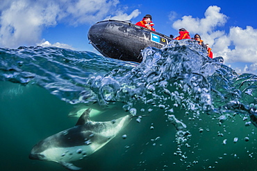 Adult Peale's dolphin (Lagenorhynchus australis) bow riding a Lindblad Expeditions Zodiac above and below water near New Island, Falkland Islands, UK Overseas Protectorate, South America