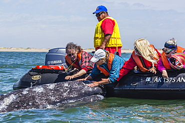 California gray whale (Eschrichtius robustus) with excited whale watchers in Magdalena Bay, Baja California Sur, Mexico, North America