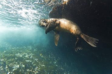 Galapagos sea lion (Zalophus wollebaeki) underwater, Tagus Cove, Isabela Island, Galapagos Islands, Ecuador, South America
