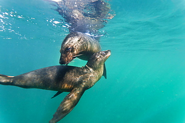 Galapagos sea lions (Zalophus wollebaeki) underwater, Tagus Cove, Isabela Island, Galapagos Islands, Ecuador, South America
