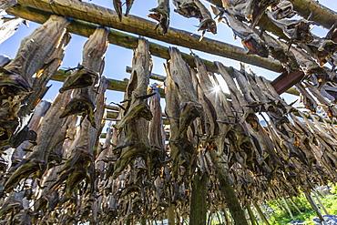 Stock cod, split and drying out on huge racks, in the Norwegian fishing village of Reina, Lofoten Islands, Norway, Scandinavia, Europe
