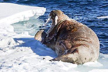 Adult bull Atlantic walrus (Odobenus rosmarus rosmarus) rolling on its back on ice in Storfjorden, Svalbard, Norway, Scandinavia, Europe