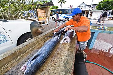 Local fish market, Puerto Ayora, Santa Cruz Island, Galapagos Island Archipelago, Ecuador, South America