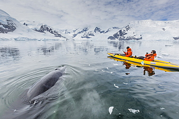 A curious Antarctic minke whale approaches kayakers, in Neko Harbor, Antarctica, Polar Regions