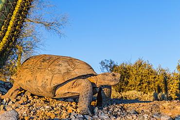 Adult captive desert tortoise (Gopherus agassizii) at sunset at the Arizona Sonora Desert Museum, Tucson, Arizona, United States of America, North America