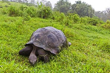 Wild Galapagos giant tortoise (Geochelone elephantopus), Santa Cruz Island, Galapagos Islands, UNESCO World Heritge Site, Ecuador, South America
