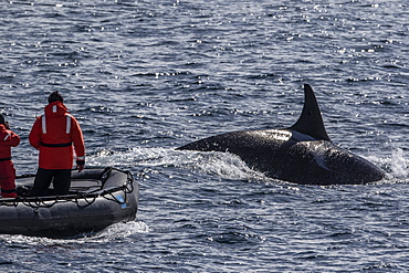 Adult bull Type A killer whale (Orcinus orca) surfacing near researchers in the Gerlache Strait, Antarctica, Polar Regions