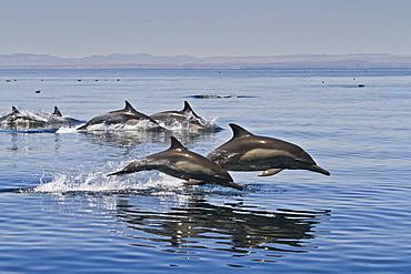 Long-beaked common dolphins (Delphinus capensis), Isla San Esteban, Gulf of California (Sea of Cortez), Baja California, Mexico, North America