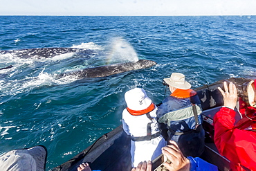 California gray whale (Eschrichtius robustus) surfacing with excited whale watchers in San Ignacio Lagoon, Mexico, North America