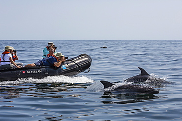 Bottlenose dolphins (Tursiops truncatus) bow riding the National Geographic Sea Lion, Baja California Sur, Mexico, North America