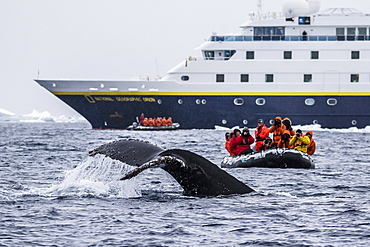 Humpback whale diving during Zodiac cruise from the Lindblad Expeditions ship National Geographic Orion, Weddell Sea, Antarctica, Polar Regions