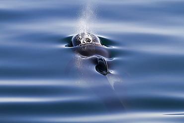 Short-finned pilot whale (Globicephala macrorhynchus), Isla San Pedro Martir, Gulf of California (Sea of Cortez), Baja California Norte, Mexico, North America
