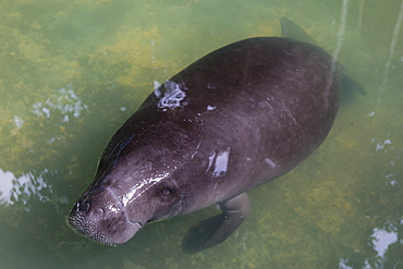 Captive Amazonian manatee (Trichechus inunguis) at the Manatee Rescue Center, Iquitos, Loreto, Peru, South America