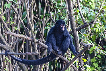 Adult spider monkey (Ateles spp), San Miguel Caño, Loreto, Peru, South America